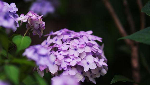 紫陽花8-2