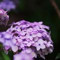 Photos: 紫陽花8-2