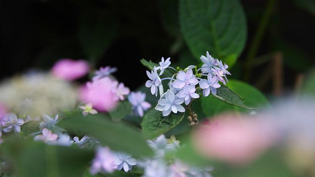紫陽花8-3