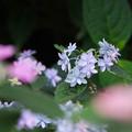 Photos: 紫陽花8-3