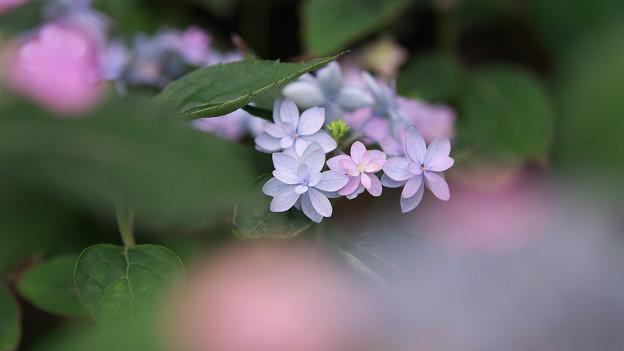 紫陽花8-4