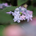 Photos: 紫陽花8-4