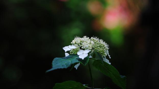 紫陽花8-5