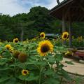 Photos: 向日葵3-2