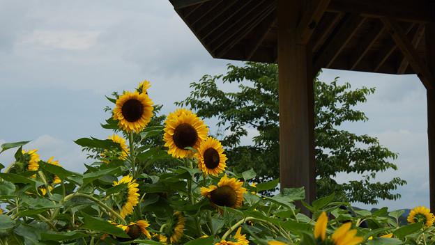 向日葵3-4
