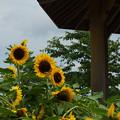 Photos: 向日葵3-4