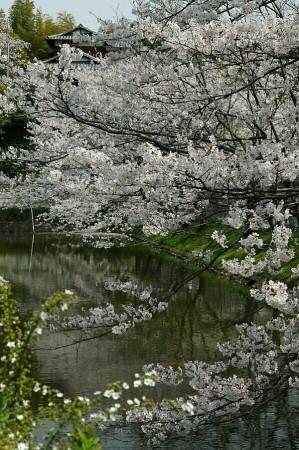 07,04,01谷戸池桜2