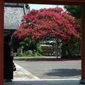 Photos: 07,08,06本興寺さるすべり-2