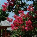 Photos: 07,08,06本興寺さるすべり-3