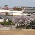 姫路城の桜(4)