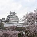 姫路城の桜(10)