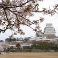 姫路城の桜(11)
