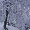 写真: 着氷の森