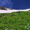 白馬岳 お花畑