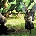 ホロホロ鳥