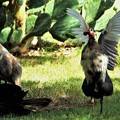 Photos: ホロホロ鳥