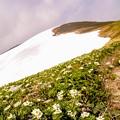 写真: ハクサンイチゲのお花畑 飯豊山御西岳へ向かう 6月24日撮影