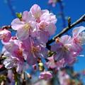 0927河津桜