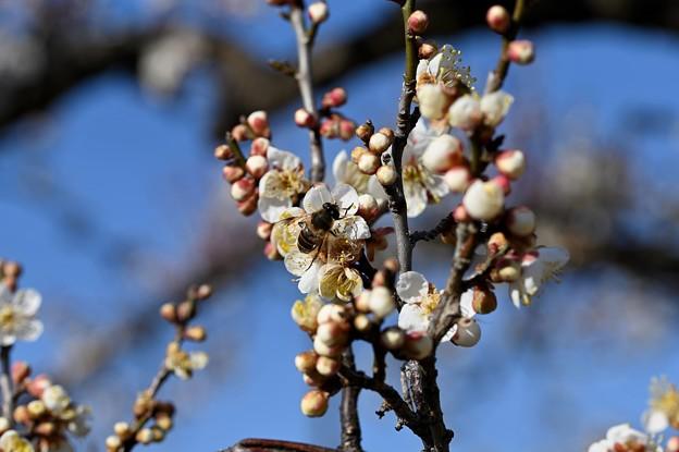 Photos: 梅とハチ