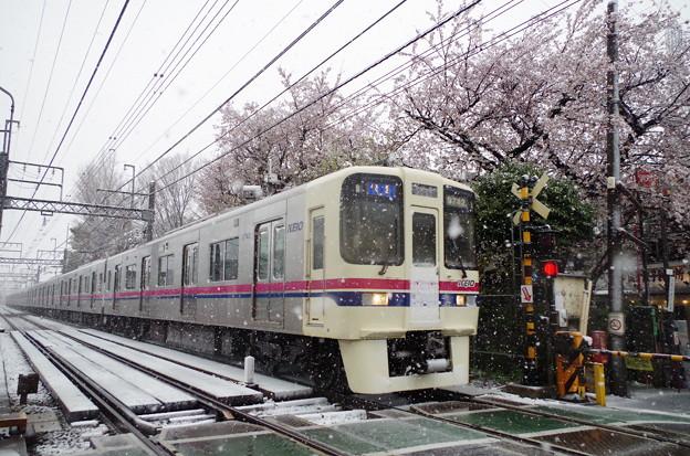 桜が咲き、雪が舞う。