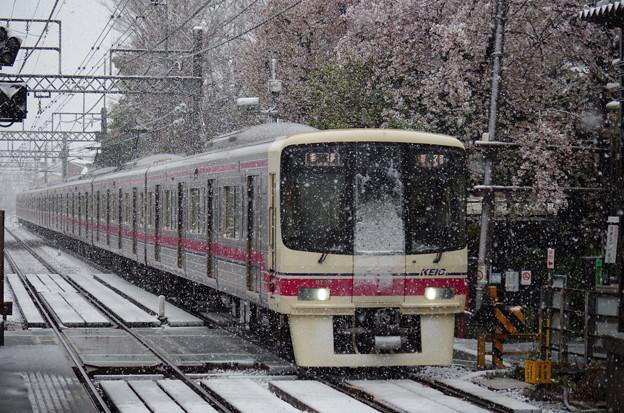 桜と雪の京王線