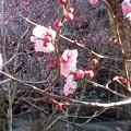 輝く梅の花