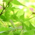 写真: もみじの花