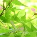 Photos: もみじの花