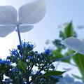 写真: 見上げた紫陽花