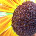 Photos: 向日葵の花