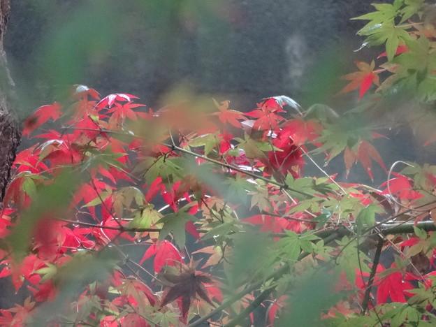 おぼろな紅葉