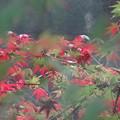 写真: おぼろな紅葉