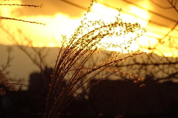 夕日に輝くススキ
