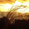 写真: 夕日に輝くススキ