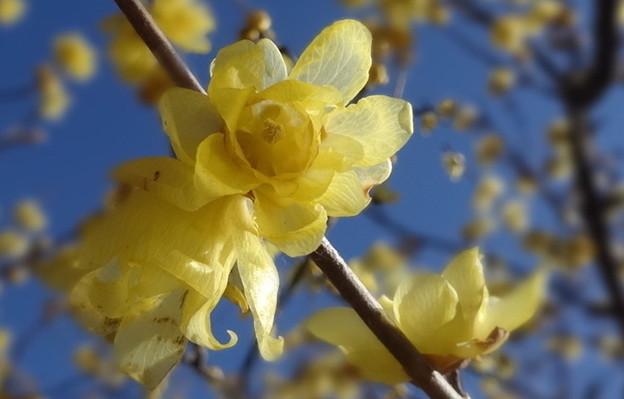 ロウ細工のような花びら