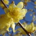写真: ロウ細工のような花びら