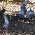 写真: ハトのふりふりダンス