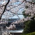 桜と遠き富士 (1/2)