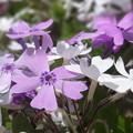 芝桜  (紫と白)