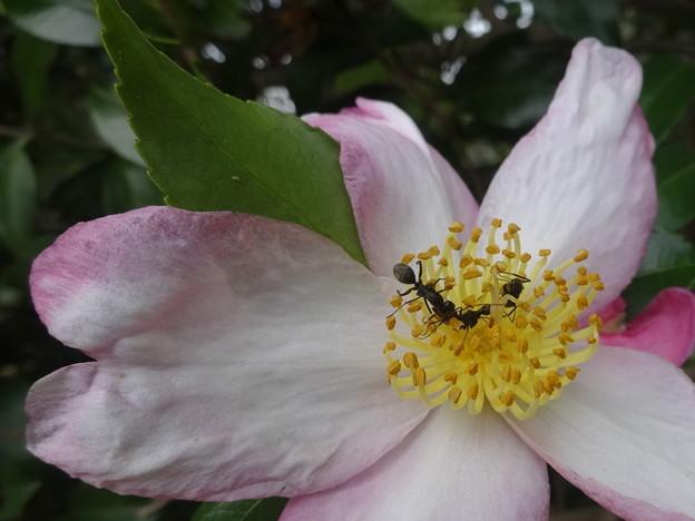 山茶花に蟻さん