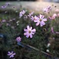 Photos: 海辺の公園に咲くコスモス