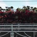 写真: TDK工場前のバラ