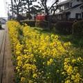 Photos: 菜の花 さがみ野