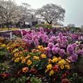 Photos: 城山の桜と公園内の花
