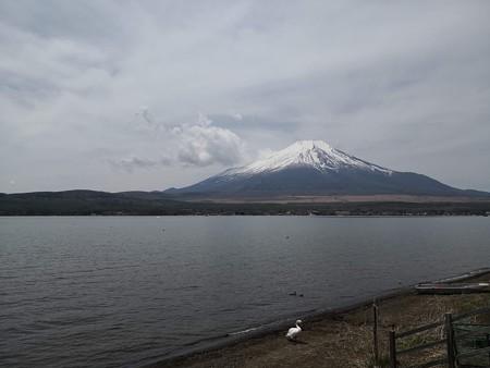 山中湖と富士山と白鳥