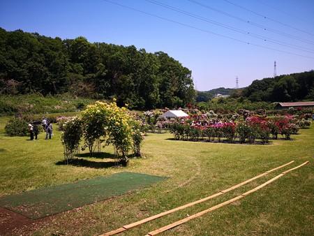 野津田公園 バラ園