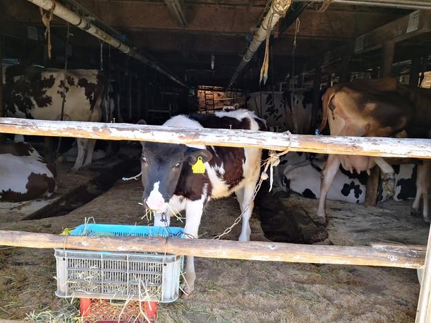 子牛/後ろの山羊も印象的(Mogusa Farm)