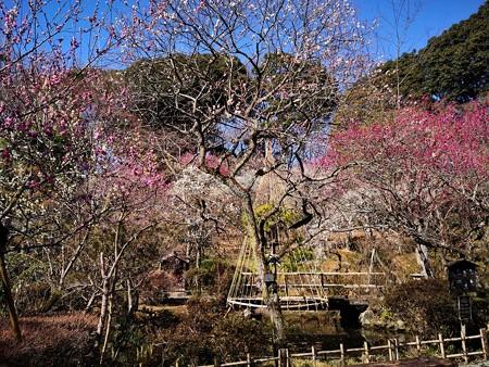 日本庭園の梅