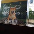こんな柴犬でした。店内からみれる。