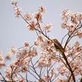 写真: 満開の桜に目を輝かせ